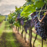 mempengaruhi tingkat produksi dan kualitas buah anggur